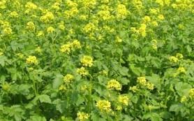 Растения-сидераты и советы по их выращиванию