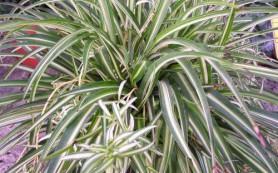 Хлорофитум — самое популярное неприхотливое растение