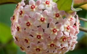 У хойи карноза дишистые цветки
