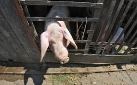 Россельхознадзор ограничит ввоз украинской свинины
