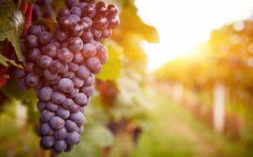 Виноград поможет противостоять негативным последствиям употребления жирной пищи