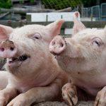 Россия временно ограничила ввоз свинины из Молдавии