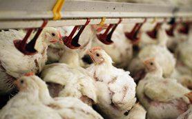 Россельхознадзор пригрозил запретом на ввоз птицы из Польши