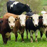Россельхознадзор подумает о снятии запрета на импорт новозеландской говядины