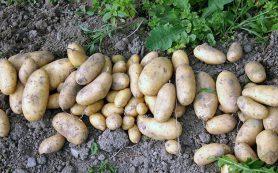 Выращивание, хранение и уход за картошкой