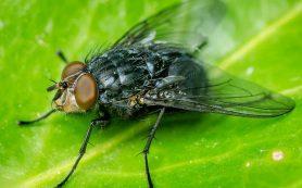 Мясные мухи против бактерий