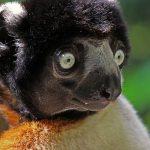 Почему лемуры так странно питаются
