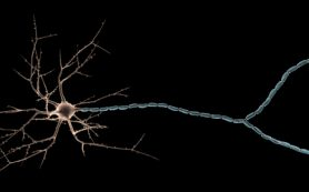 Женские нейроны тоньше мужских
