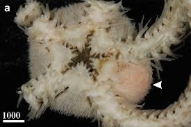 Мешкогрудые раки глубоководных офиур