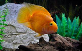Рыбка — попугай. Содержание, совместимость, разведение