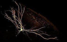 Нейроны мозга рассмотрели по слоям