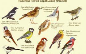 Российские исследователи обнаружили у певчих птиц дополнительную хромосому