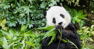 Большая панда – волк в овечьей шкуре