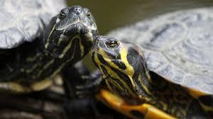 Зародыши черепах выбирают свой пол
