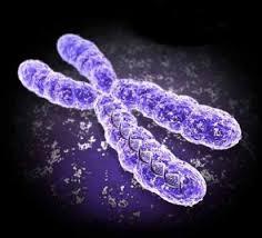 Х-хромосомы притягивают жир