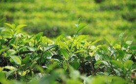 Шри-Ланка начинает масштабную кампанию по продвижению своего чая