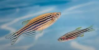 Аквариумная рыбка со здоровым сердцем