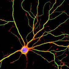 У нейронов нашли новые сигналы