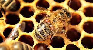 Пчелиные ульи защитят модифицированными микробами