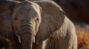 Слоны в Таиланде оказались под угрозой из-за пандемии коронавируса