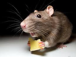Почему мыши мало живут