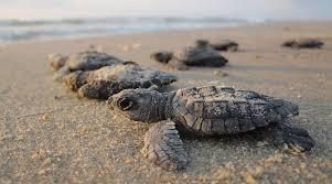 В Таиланде растет популяция морских черепах благодаря закрытию пляжей