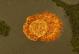 Иммунные клетки помогают перестраиваться молочной железе