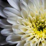 Противомалярийные хризантемы
