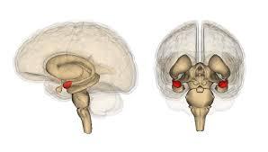 Эмоциональный центр мозга регулирует агрессию и половое поведение