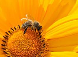 Пчёлы пьют нектар двумя способами