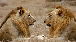 Как дружат львы
