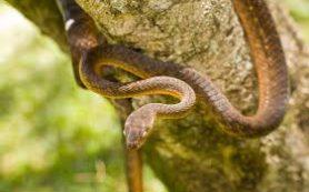 Змея-лассо