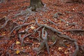 Как растительные корни пробиваются сквозь твёрдую почву