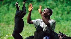 Гены человека и шимпанзе работают по-разному
