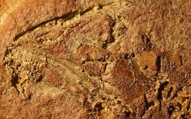 В США найден окаменелый микрозавр величиной с палец
