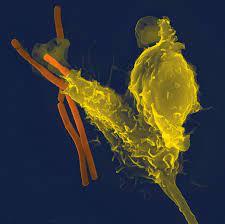 Иммунные клетки не дают себе толпиться